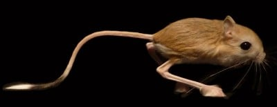 Lesser Egyptian Jerboa. Photo credit: Cooper Lab, UC San Diego