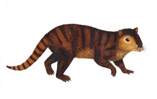 This is a reconstruction of Kimbetopsalis simmonsae, a rodent-like multituberculate mammal species discovered by UNL student Carissa Raymond during a 2014 fossil hunting trip. Image credit: Sarah Shelley, University of Edinburgh