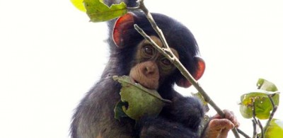 Young chimpanzee playing with branches. Image credit: Kat Koops