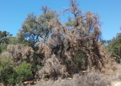 A coast live oak (Quercus agrifolia) shows signs of severe stress after three years of punishing drought and extreme temperatures. Image credit: Jim Logan