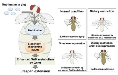 Effects of methionine metabolism on longevity SAM is synthesized from methionine consumed as part of a healthy diet. GNMT is the enzyme that catabolizes excess SAM to maintain a constant level of the metabolite. GNMT activation enhances SAM metabolism and extends lifespan in Drosophila (fruit flies). Image credit: Obata Fumiaki.