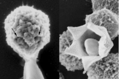 """On the left, arrows point to the openings of the """"stargate"""" of the giant Mimivirus; on the right, a Mimivirus with its stargate wide open. Image credit: Zauberman et al./PLoS Biology"""