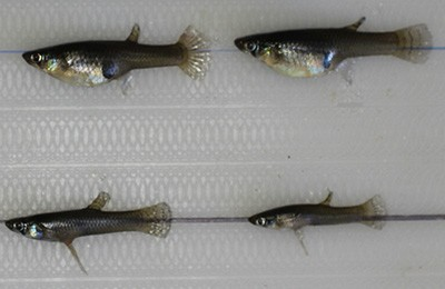 Female mosquitofish (top row) are larger than males and often display a distended abdomen due to pregnancy (mosquitofish are live-bearing fishes). Males are smaller, thinner, and characterized by an elongated gonopodium. Photo credit: David Fryxell