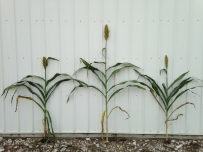 Heterosis accounts for why a sorghum hybrid may grow taller than either of its parent varieties. Image credit: Jianming Yu.