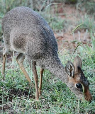 """Princeton University researchers deployed a new tool to help solve an old ecological puzzle: How can multiple animals coexist while eating the same resources? They used """"DNA metabarcoding"""" to determine the specific plants that herbivores inhabiting the Kenyan savanna eat. They found that animals such as the dik-dik (above) — antelopes the size of a small dog — have distinct diets, which enables numerous species to inhabit the same ecosystem without strong competition. Image credit: Robert Pringle, Department of Ecology and Evolutionary Biology"""
