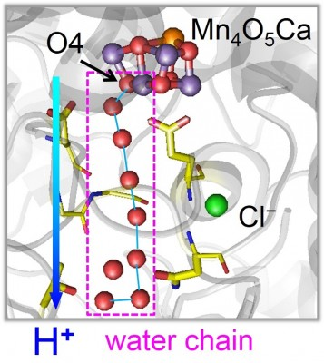 Route of protons released from PSII in the first stage reaction In the first stage reaction, a proton is released along a chain of water molecules proceeding from O4 in the Mn4CaO5 cluster. Oxygen atoms of water molecules are depicted as red balls. Image credit: Hiroshi Ishikita.
