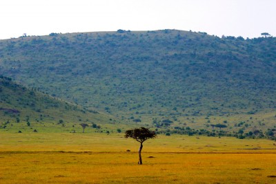 Princeton University researchers might have finally provided a solution to the ecological riddle of why tree abundance on Africa's grassy savannas diminishes in response to heavy rainfall despite scientists' expectations to the contrary. The researchers found that the ability of grasses to more efficiently absorb and process water gives them an advantage over trees such as the acacia (pictured). Image credit: Kev Moses, Licensed under CC BY 2.0.