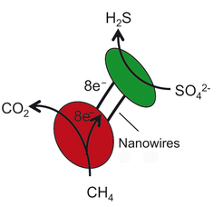 Archaea (red) yield eight electrons from the oxidation of a single methane molecule. The electrons travel via the nanowires to the sulphate reducing bacteria (green). The bacteria use those electrons to convert one molecule sulphate into hydrogen sulphide. Image credit: MPI f. Marine Microbiology