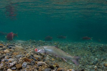 Dolly Varden consuming eggs during sockeye spawning in Chinkelyes Creek, Alaska. Image credit: Morgan Bond