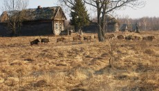 Wild boar run through a former village in the Chernobyl Exclusion Zone. Image credit: Valeriy Yurko/Polessye State Radioecological Reserve