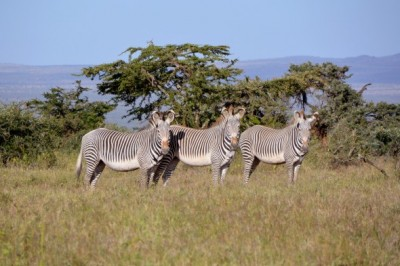 To study the communities formed by two types of social animals – Grevy's zebra and the onager – a research team led by UIC computational ecologist Tanya Berger-Wolf developed a dynamic social-network analysis tool. Image credit: Tanya Berger-Wolf