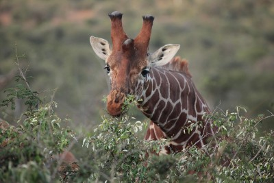 Prevailing theory about how the numerous herbivores of the African savanna coexist holds that different species evolved to eat different parts of the same plants. For instance, some animals such as giraffes (above) eat the leafy tops of trees, while others can only reach shoots that grow closer to the ground. But ecological models along these lines gloss over important nuances in the day-to-day biology of the savanna. Image credit: Robert Pringle, Department of Ecology and Evolutionary Biology