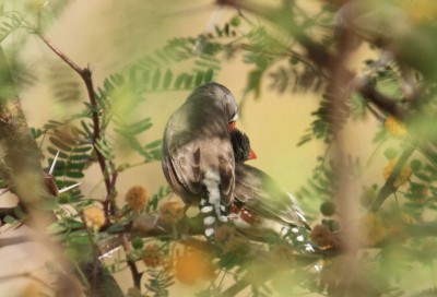 Love birds: a zebra finch pair engaged in mutual grooming. Photo credit: MPI f. Ornithology/ L. Gill