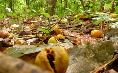 Figs (Ficus sp.) and seedlings dispersed by straw-coloured fruit bats in a tropical forest in Ghana, West Africa. Image credit: MPI f. Ornithology/ J. Fahr