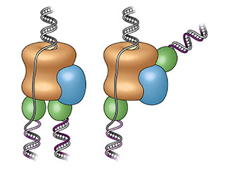 First glimpse: Previously (left), the replisome's two polymerases (green) were assumed to be below the helicase (tan), the enzyme that splits the DNA strands. The new images reveal one polymerase is located at the front of the helicase, causing one strand to loop backward as it is copied (right). Image credit: Brookhaven National Laboratory