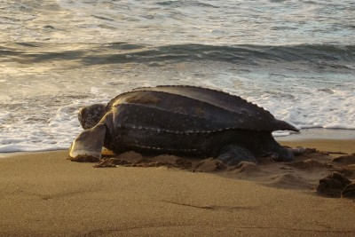 Female leatherback sea turtles travel great distances to return to their natal beaches to lay eggs. A new study examines how they choose their nesting sites. Photo credit: Megan Watson