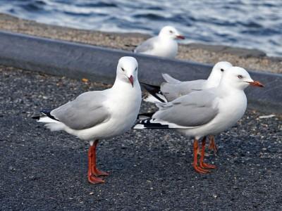 Red legged seagulls. Image credit: Wikimedia Commons