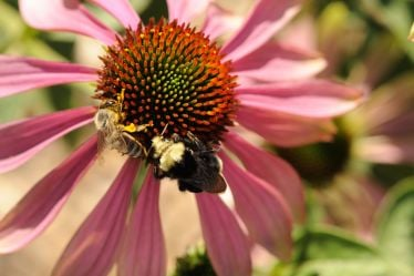 Photo shows a honey bee (Apis mellifera) and a bumblebee (Bombus spp.) foraging on a purple coneflower. Image credit: Kathy Keatley Garvey