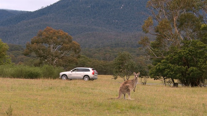 Volvo Cars is improving its City Safety system to detect kangaroos – one of the cause of most costly accidents in Australia. Image courtesy of media.volvocars.com