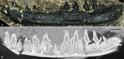 This tiny lower jaw bearing 11 teeth belonged to a mouse-sized mammal living 170 million years ago. Image credit: Roger Close