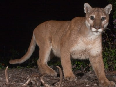 New research shows that cougars may repopulate areas of Arkansas, Missouri and Nebraska in the next two decades. Image credit: Johanna Turner