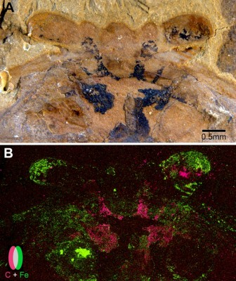 A: Under a light microscope, the above fossil shows traces of preserved neural tissues in black. B: An elemental scan of this fossil uncovered that carbon (in pink) and iron (in green) do not overlap in the preserved neural tissue. Image credit: Strausfeld et al. and Current Biology
