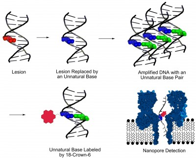 This graphic shows a new method, developed at the University of Utah, for identifying DNA lesions, or sites of damage on DNA strands that can lead to disease-causing mutations. First the damage is cut out and replaced by so-called unnatural base pairs so chemists can amplify, or make millions of copies, of the damaged DNA. Then they label the unnatural base with a chemical called 18-crown-6 ether. which makes it easier to detect the site of DNA damage by passing the strand of DNA through molecule-size nanopore. Image credit: Aaron Fleming, University of Utah