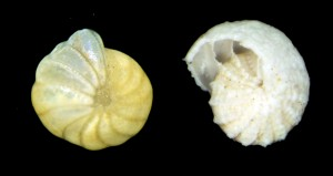Elphidiella hannai, a species of foraminfera found in Bellingham Bay and Bremerton, in its healthy form (left) and partially dissolved (right). Image credit: Burke Museum of Natural History and Culture