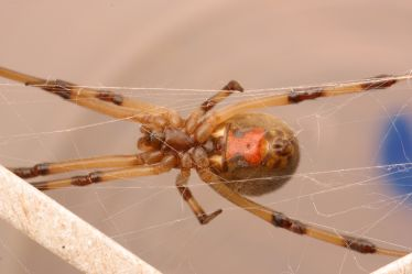 Photo shows the ventral side of a female brown widow spider. Image credit: Dong-Hwan Choe
