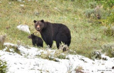 A female grizzly with a cub. Adult females are considered the most important segment of the Greater Yellowstone grizzly population and consequently are a major focus of USGS research and monitoring.