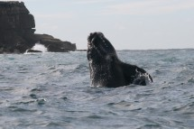 Southern right whale. Image credit: Rob Harcourt