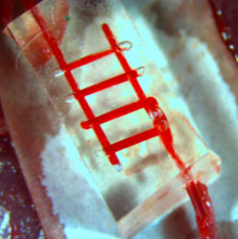 Researchers at Rice University and the University of Pennsylvania demonstrated that blood flowed normally through the network of small channels in the silicone construct, which is about the size of a small candy gummy bear. Image credit: Jordan S. Miller/Rice University