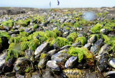 Mussels and other inhabitants of the rocky intertidal zone have developed sophisticated methods of adhering to surfaces in spite of waves and wind. Image credit: Kollebeah