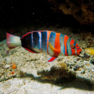 The harlequin tuskfish is a predatory wrasse found on the Great Barrier Reef. It was found to express four classes of opsins, including the UV-sensitive SWS1 opsin, despite having UV-blocking ocular media. Photo credit: Steve Parish.