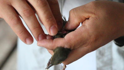A Swainson's thrush is fit with a radio transmitter. The birds travel some 600 miles across the Gulf of Mexico during migration. They use two main cues -- weather and fat -- to make their migration risk assessment. Image credit: Mauricio Andrada