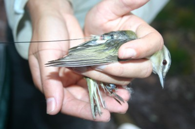 The red-eyed vireo, is one of the songbirds the team researched, shown here with a radio transmitter fitted to its back, using an adhesive. The transmitters recorded birds' locations as they migrated across the Gulf of Mexico. Image credit: Jaclyn Smolinksy