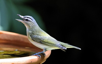 Red-eyed vireo (Vireo olivaceus) was hit hard by West Nile but managed to recover. Image credit: Randy Korotev