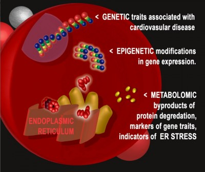 Using DNA and RNA markers, ER stress was uncovered as the biological process responsible for the increased risk of heart disease events. Image credit: Duke Medicine