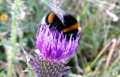 Male bumblebee feeding on a thistle flower. Photo credit: Quenn Mary University of London