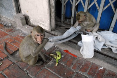 Macaques on the sidewalk in Lop Buri, Thailand. Image credit: Axel Drainville