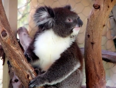 Southern koala image sourced from James Cook University. Northern koalas have thinner fur and are smaller and lighter in colour than their southern counterparts. Image courtesy of The University of Sydney