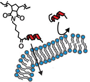 On their own peptides (shown as red helices) can't easily penetrate the membrane of a cell. Adding a small, brushlike group of atoms helps them through. Image credit: UCSD