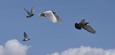 Researchers found that faster pigeons naturally became flock leaders. Image credit: Zsuzsa Ákos