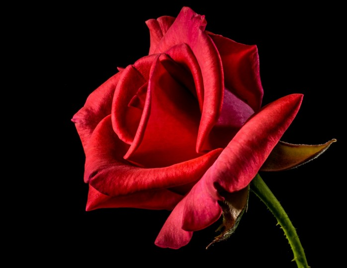 Swedish scientists have succeeded in making the world's first bionic rose, implanted with a fully-functional electronic circuit, without damaging its organic components. Image credit: Josch13 via pixabay.com, CC0 Public Domain.