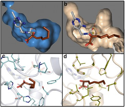 The images on the left show the key molecule in enzyme KIVD, part of a metabolic pathway in E. coli that transforms sugars into short-chain alcohols, while the images at right show the same molecule, but in a different enzyme and configuration. The new enzyme, discovered with a genomic mining technique developed at UC Davis, can be inserted into the pathway to boost production of economically valuable long-chain alcohols. Image credit: Justin Siegel/UC Davis