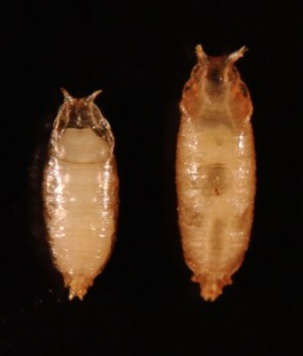 Suppression of steroid hormone release causes developmental delay. Compared to a control (normal) insect on the left, pupariation of the maggot whose steroid hormone release is disrupted is significantly delayed, and the extended larval feeding period gives rise to a big pupa (right). Image credit: N. Yamanaka