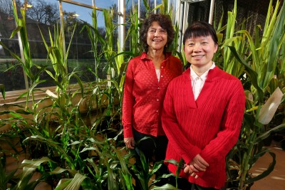 Eve Syrkin Wurtele, left, and Ling Li, right, have spent years studying the potential of a gene found only in a single plant species that governs protein content. Image credit: Christopher Gannon