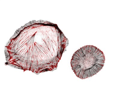 The cell adhesion protein talin (shown in red) bears mechanical forces of seven to ten piconewton und mediates the engagement of cell adhesions to the actin cytoskeleton (shown in grey). This talin linkage allows cells to sense the stiffness of their environment so that cell adhesions become reinforced on stiff substrates (left cell). Impairing the mechanical talin linkage leads to a loss of cellular rigidity sensing (right cell). Image credit: MPI of Biochemistry/Carsten Grashoff