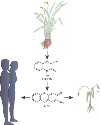 To have an advantage over their neighbours, some plant species release chemicals from their roots (e.g. DIBOA). These compounds can get degraded in the soil and turn into toxic substances, illustrated here by APO. When these toxins enter the roots of neighbouring plants, they prevent them from growing further. Image credit: MPI f. Developmental Biology/ C. Becker, S. Petersen and University Hospital Tübingen/M. Burkard