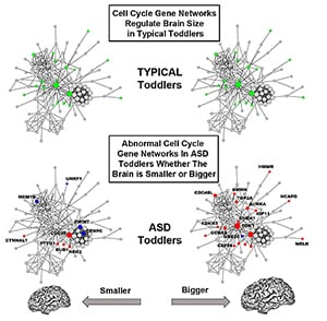 Gene function in cell cycle networks regulating brain size is normal in typical toddlers (green), while it is abnormal in ASD toddlers (blue, red) for both smaller and bigger brains. Bigger ASD brains are more severely affected than smaller brains. Credit: UCSD